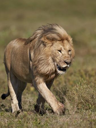 https://imgc.allpostersimages.com/img/posters/lion-panthera-leo-ngorongoro-conservation-area-serengeti-tanzania-east-africa-africa_u-L-PWFR800.jpg?p=0