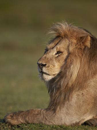 https://imgc.allpostersimages.com/img/posters/lion-panthera-leo-ngorongoro-conservation-area-serengeti-tanzania-east-africa-africa_u-L-PWFSK20.jpg?p=0