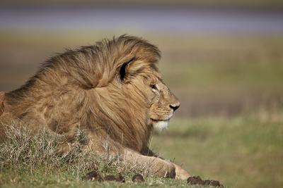 https://imgc.allpostersimages.com/img/posters/lion-panthera-leo-serengeti-national-park-tanzania-east-africa-africa_u-L-PWFE570.jpg?artPerspective=n