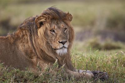 https://imgc.allpostersimages.com/img/posters/lion-panthera-leo-serengeti-national-park-tanzania-east-africa-africa_u-L-PWFE670.jpg?artPerspective=n