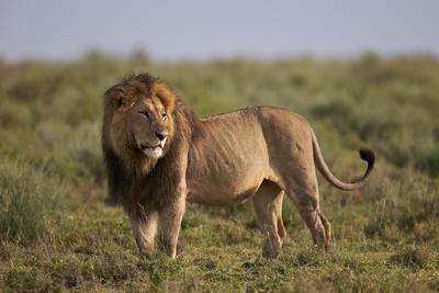 https://imgc.allpostersimages.com/img/posters/lion-panthera-leo-serengeti-national-park-tanzania-east-africa-africa_u-L-PWFES70.jpg?p=0