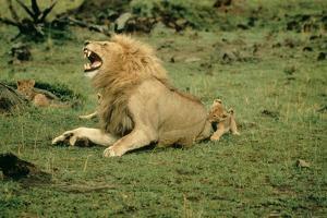 Lion Single Male Roaring with Cub Biting Rump