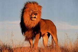 Lion (Standing)