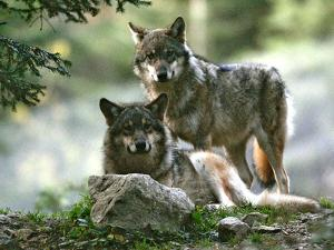 Asap Entertainment Plays with Wolves by Lionel Cironneau