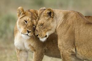 Lioness Greeting