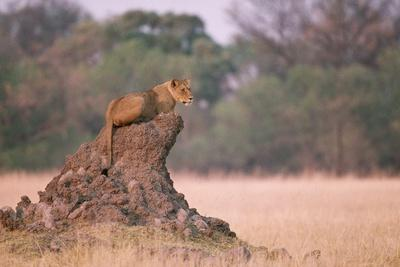 https://imgc.allpostersimages.com/img/posters/lioness-on-termite-mound_u-L-PZNCVK0.jpg?p=0
