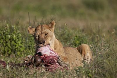 https://imgc.allpostersimages.com/img/posters/lioness-panthera-leo-at-a-wildebeest-carcass_u-L-PWFCOE0.jpg?p=0