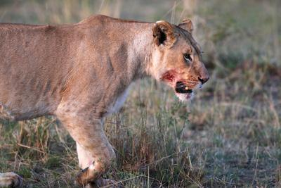 https://imgc.allpostersimages.com/img/posters/lioness-panthera-leo-in-savanna-masai-mara-national-park-kenya_u-L-Q1GYKKB0.jpg?artPerspective=n