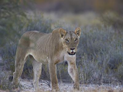 https://imgc.allpostersimages.com/img/posters/lioness-panthera-leo-kgalagadi-transfrontier-park_u-L-PWFC0Y0.jpg?p=0