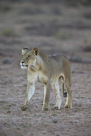 https://imgc.allpostersimages.com/img/posters/lioness-panthera-leo-kgalagadi-transfrontier-park_u-L-PWFGRR0.jpg?p=0