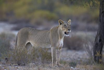 https://imgc.allpostersimages.com/img/posters/lioness-panthera-leo-kgalagadi-transfrontier-park_u-L-PWFI6Z0.jpg?p=0