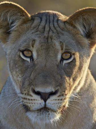 https://imgc.allpostersimages.com/img/posters/lioness-panthera-leo-kgalagadi-transfrontier-park_u-L-PWFRXE0.jpg?p=0