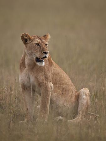 https://imgc.allpostersimages.com/img/posters/lioness-panthera-leo-serengeti-national-park-tanzania-east-africa-africa_u-L-PWFC1U0.jpg?p=0