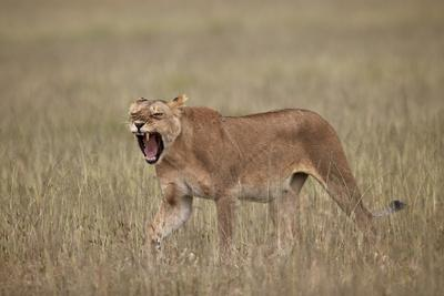 https://imgc.allpostersimages.com/img/posters/lioness-panthera-leo-yawning-in-tall-grass_u-L-PWFBX80.jpg?p=0