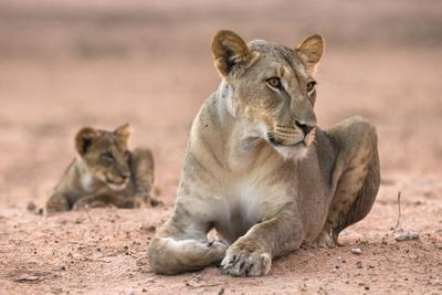 https://imgc.allpostersimages.com/img/posters/lioness-with-cub-panthera-leo-kgalagadi-transfrontier-park-south-africa-africa_u-L-PNGOFX0.jpg?p=0