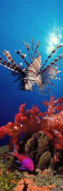 Lionfish and Squarespot Anthias with Soft Corals in the Ocean