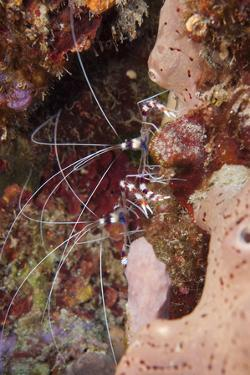 Banded Coral Shrimp (Stenopus Hispidus), Dominica, West Indies, Caribbean, Central America by Lisa Collins