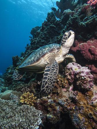 Green Turtle (Chelonia Mydas), Sulawesi, Indonesia, Southeast Asia, Asia