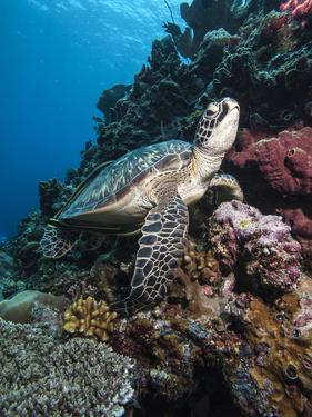 Green Turtle (Chelonia Mydas), Sulawesi, Indonesia, Southeast Asia, Asia by Lisa Collins