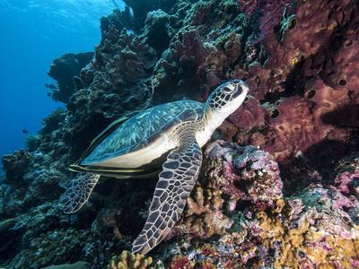Green Turtle (Chelonia Mydas) with Remoras Rachyucentron Canadum), Sulawesi, Indonesia