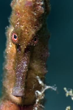 Longsnout Seahorse (Hippocampus Reidi), Dominica, West Indies, Caribbean, Central America by Lisa Collins