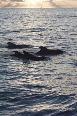 Pilot Whales Off the Coast of Dominica, West Indies, Caribbean, Central America by Lisa Collins