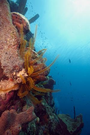Reef Scene with Feather Star, Dominica, West Indies, Caribbean, Central America