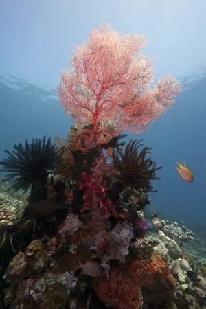 Reef Scene with Sea Fan, Komodo, Indonesia, Southeast Asia, Asia