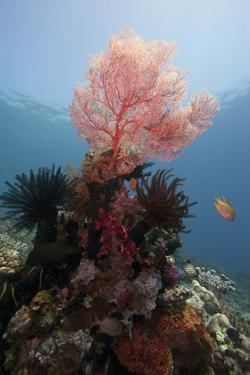 Reef Scene with Sea Fan, Komodo, Indonesia, Southeast Asia, Asia by Lisa Collins
