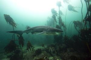 Seven Gill Shark, Cape Town, South Africa, Africa by Lisa Collins