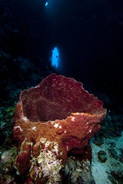 Swim Through with Giant Sponge, Dominica, West Indies, Caribbean, Central America by Lisa Collins