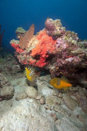Two White Spotted Filefish