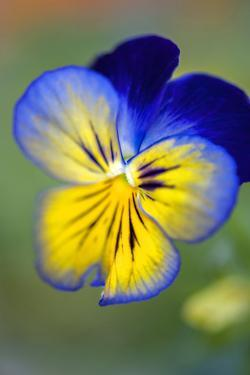 Blue and yellow pansy, USA by Lisa Engelbrecht