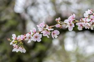 Branch of cherry blossoms, USA by Lisa Engelbrecht