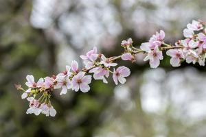 Branch of cherry blossoms, USA by Lisa Engelbrecht