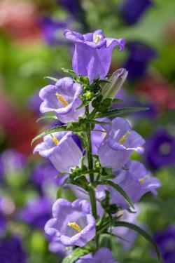 Campanula, Canterbury-Bells, USA by Lisa Engelbrecht