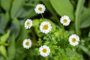 Marguerite daisy, USA by Lisa Engelbrecht