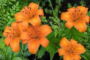 Orange tiger lily, USA by Lisa Engelbrecht