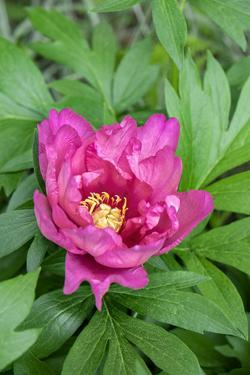 Pink peony, USA. by Lisa Engelbrecht