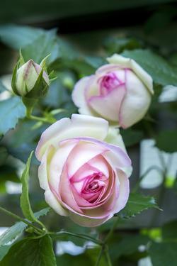 Pink Pierre de Rosard, Eden, heirloom roses, USA by Lisa Engelbrecht