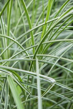 Variegated ornamental grass, USA by Lisa Engelbrecht