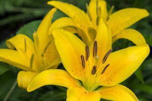 Yellow daylily, USA by Lisa Engelbrecht