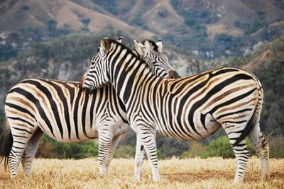 Zebra pair in South Africa by Lisa Kimball