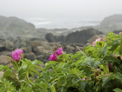 Beach Roses Along Marginal Way, Ogunquit, Maine, USA