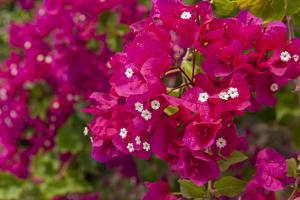 Bougainvillea Flowers, Bavaro, Higuey, Punta Cana, Dominican Republic by Lisa S. Engelbrecht
