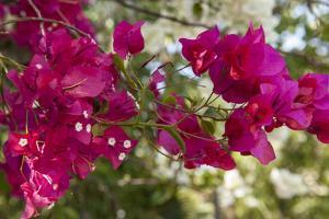 Bougainvillea Flowers, Grand Cayman, Cayman Islands, British West Indies by Lisa S^ Engelbrecht