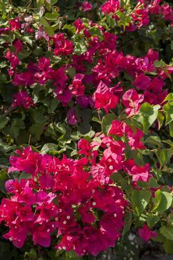 Bougainvillea Flowers, Grand Cayman, Cayman Islands, British West Indies by Lisa S. Engelbrecht