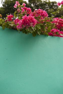 Bougainvillea, Tropical Flowers, Roatan, Honduras by Lisa S. Engelbrecht
