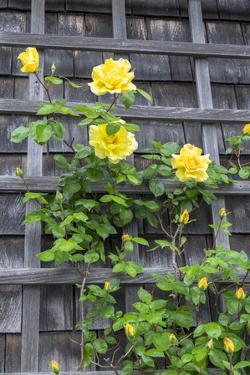 Climbing roses, Nantucket, Massachusetts, USA by Lisa S. Engelbrecht