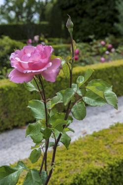 Europe, Portugal, Vila Real, Palace of Mateus, Rose in Formal Garden by Lisa S. Engelbrecht